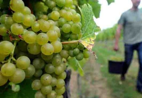 RAU Cotswolds Hills wine Grape harvest at Down Ampney